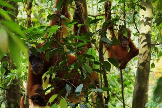 Суматранские орангутаны