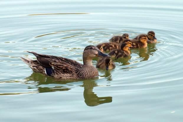 Пернатому семейству необходимо помочь перебраться в безопасные условия/pixabay.com