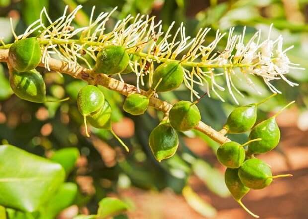 При хорошем уходе макадамия может плодоносить в домашних условиях (на 8-12 год)