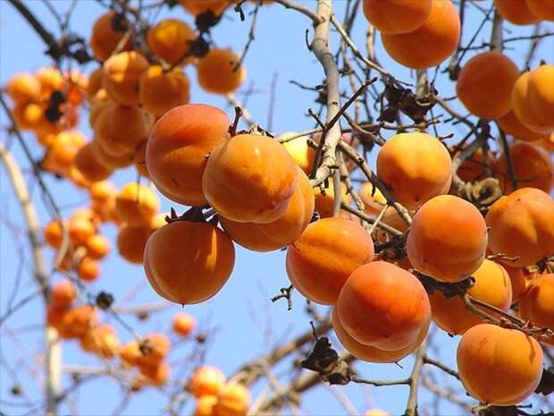 Хурма - фрукт или ягода?