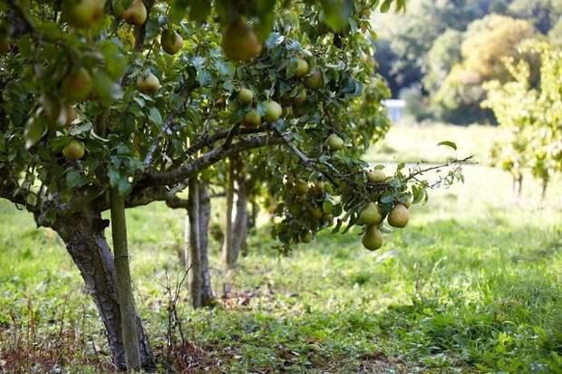 Груша в саду «дружит» с теми же растениями, что и яблоня