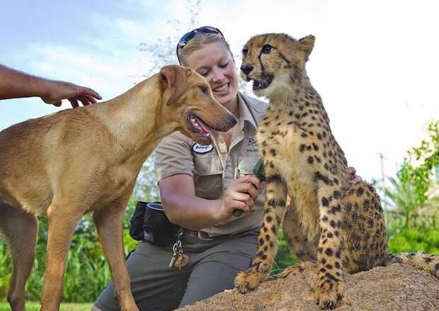00 kasi and mtani dog and cheetah friends Про дружбу кошек с собаками