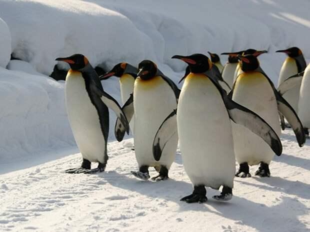 Императорский-пингвин-Описание-и-образ-жизни-императорского-пингвина-4