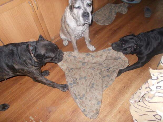 Вроде бы умные собаки, а полы мыть никак не научатся!