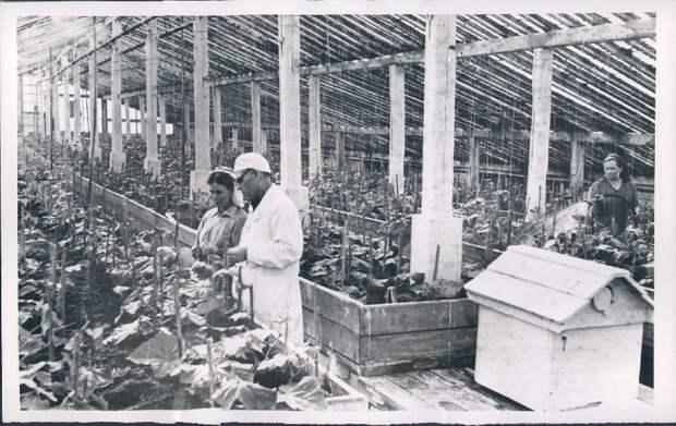 1958. Воркута. Теплицы совхоза