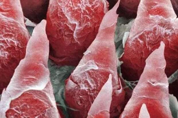 2. Язык организм, под микроскопом