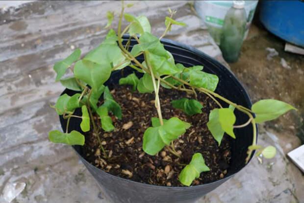 Выращиваем батат просто