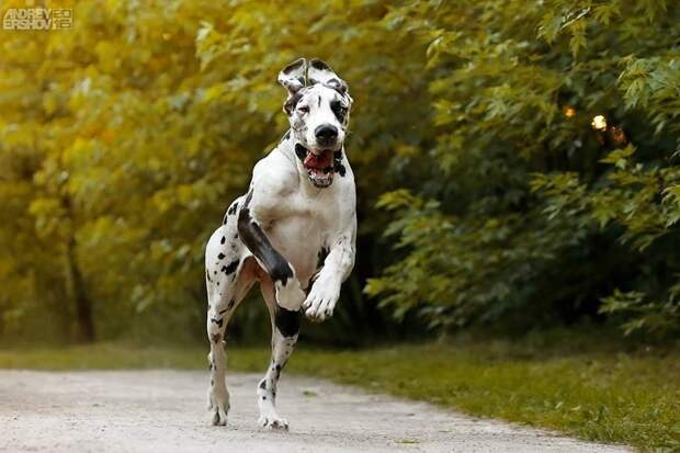 Немецкий дог: одна из самых больших пород собак в мире dog, животные, немецкий дог, собаки