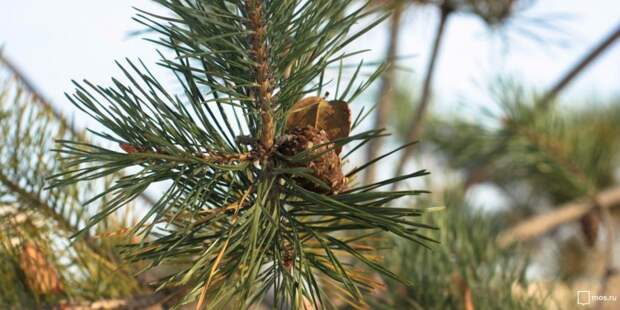 В Молжаниновском демонтировали главную новогоднюю ель