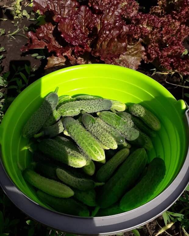 """Вот такие зеленцы собираю со своей """"елочки"""" (фото автора)"""