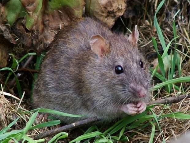 Крыса устроила ЧП в Крыму