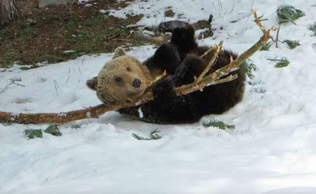 медведь играет с бревном