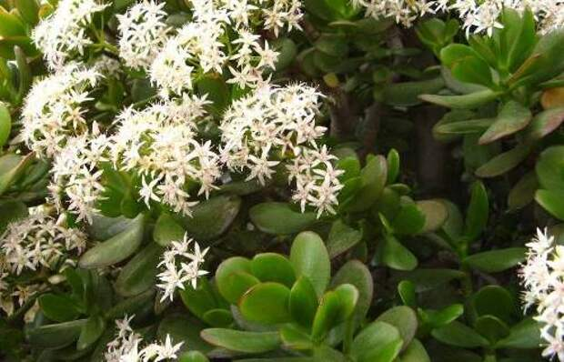 белые цветы на толстянке