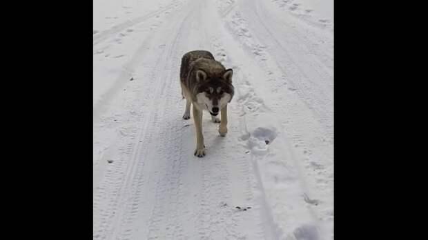 """Только русские могут кормить волка и говорить: """"Ты не бойся"""""""