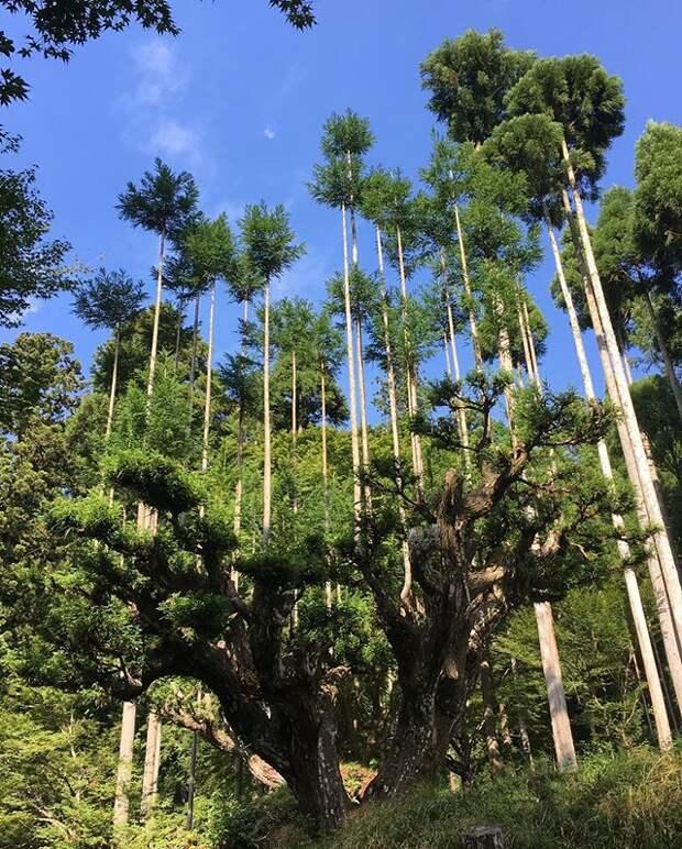 5 фото дайсуги – японских деревьев, которые не нужно вырубать ради древесины