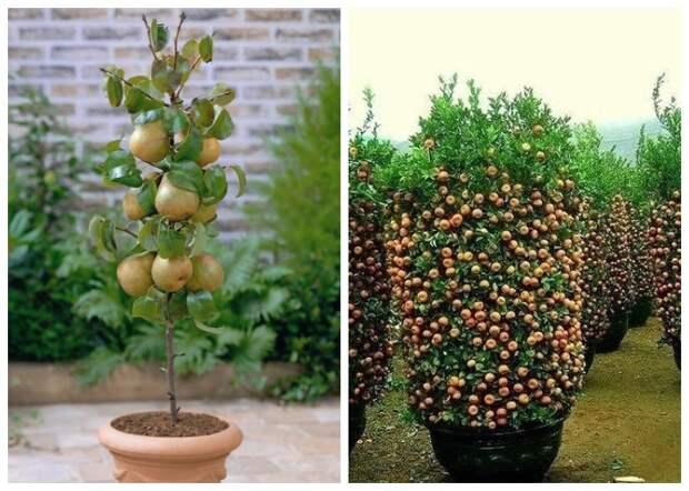 И даже фруктовые сады могут расти в горшках и кадках.