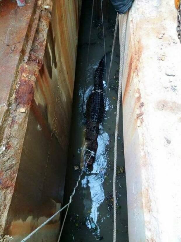 10 часов пожарные спасали 6-метрового крокодила из стока в мире, доброта, живность, животные, крокодил, люди, происшествия, спасение