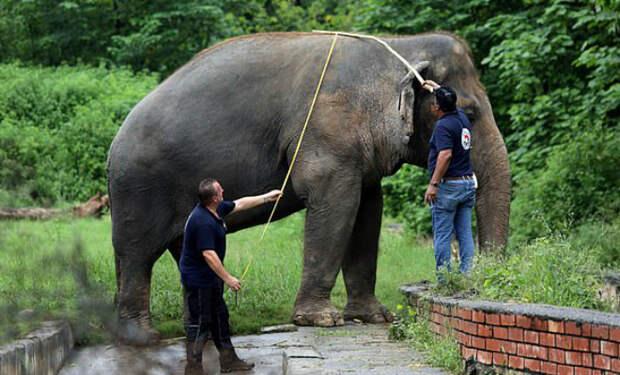 «Самый одинокий слон в мире» 35 лет жил один в вольере. Волонтеры выкупили его и выпустили в Камбодже