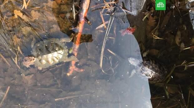 В уникальном воронежском озере погибли десятки черепах