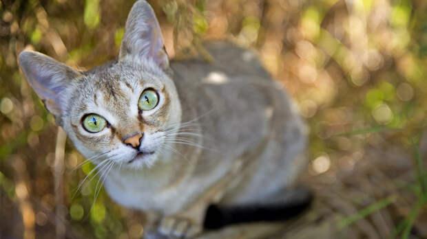 Не остановишь: 7 самых упрямых пород кошек