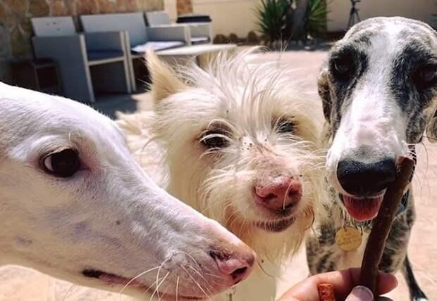 Истощенная собака «плакала» от голода: как и другие испанские гальго, она стала не нужна своем хозяину