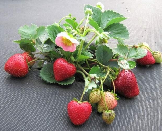 Как я высеваю семена земляники – простой способ, который позволяет получить хорошую рассаду