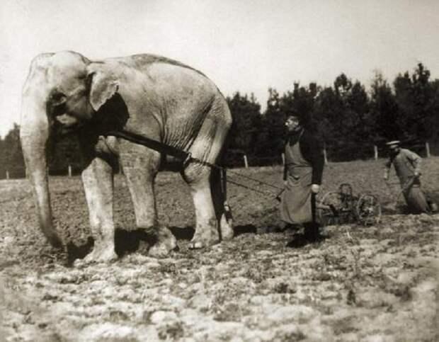 Слон из зоопарка, запряженный в плуг. Окрестности Софии, Болгария, 1910 год.