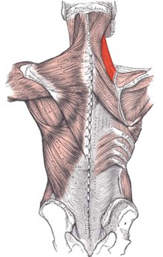 метод фельденкрайза упражнения для лопаточной мышцы