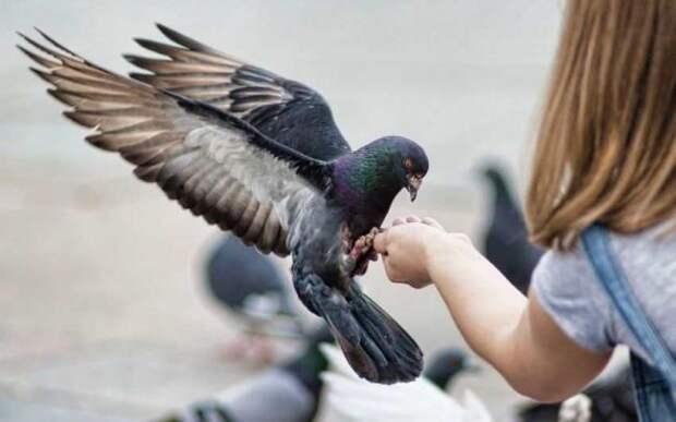 Почтовый голубь Чер Ами