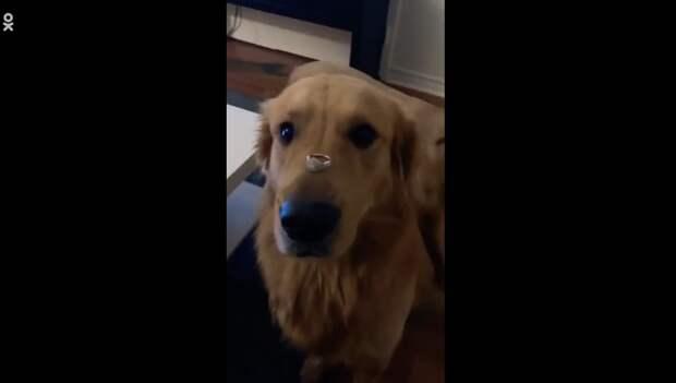 Собака проглотила обручальное кольцо хозяйки во время фотосессии