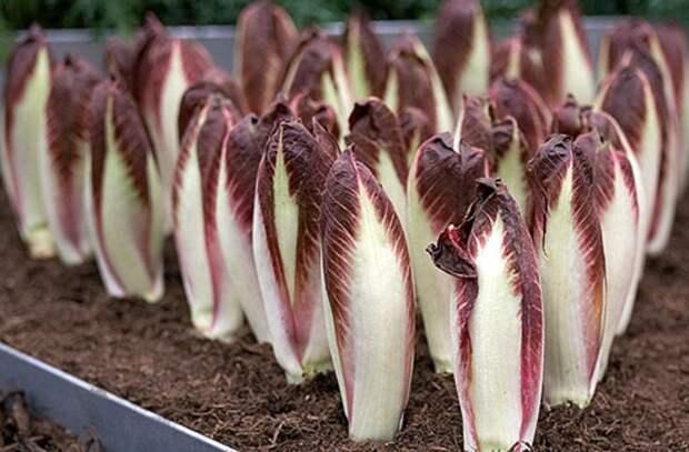Цикорий салатный (эндивий): польза и вред, выращивание из семян, когда сажать