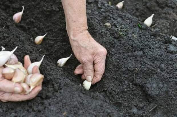 После чего рекомендуется сажать чеснок под зиму?