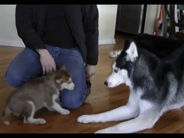 Мужчина принёс в дом маленького щенка. Реакция взрослых собак на малыша просто бесподобна!