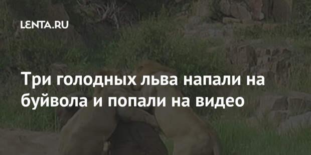 Три голодных льва напали на буйвола и попали на видео