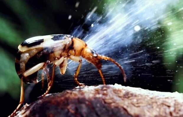 Это жук-бомбардир