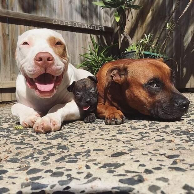 Третьего щенка по кличке Картошка, приняли в свою банду два спасённых питбуля
