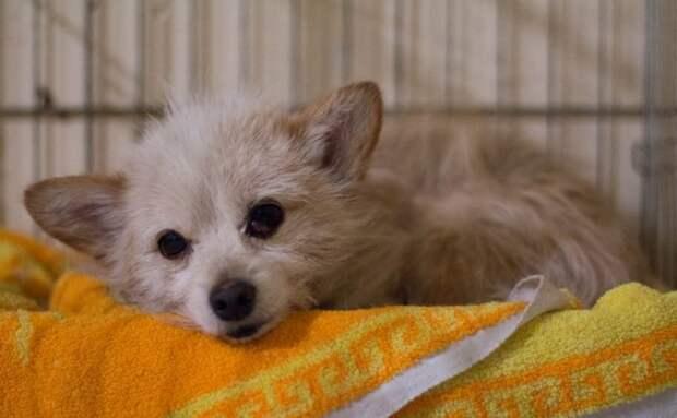 Маленький песик с ранами не давал к себе прикасаться болонка, маленькая собака, пес, собака