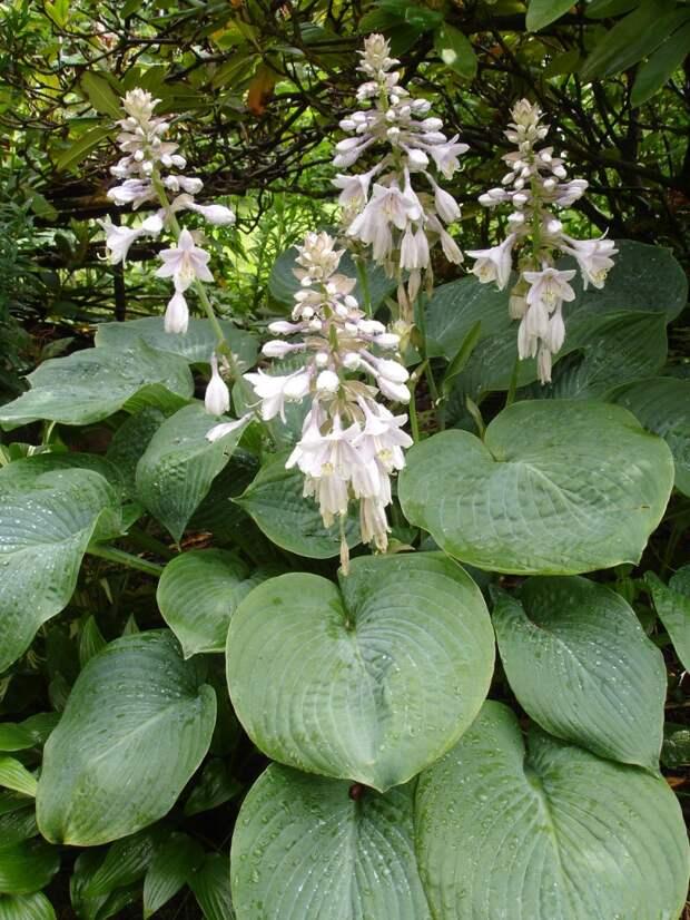 Красивые теневыносливые растения
