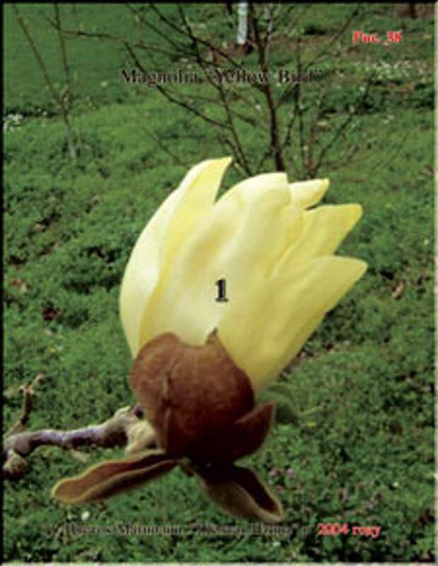 Магнолия Жёлтая Птица