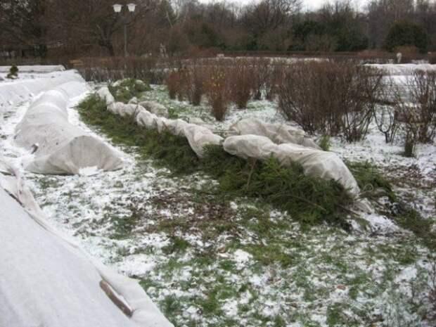 укрытие на зиму парковых роз