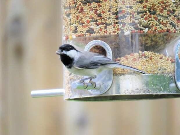 Семена в кормушке привлекут зерноядных птиц
