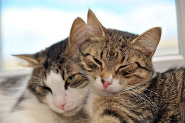 как подружить двух взрослых кошек