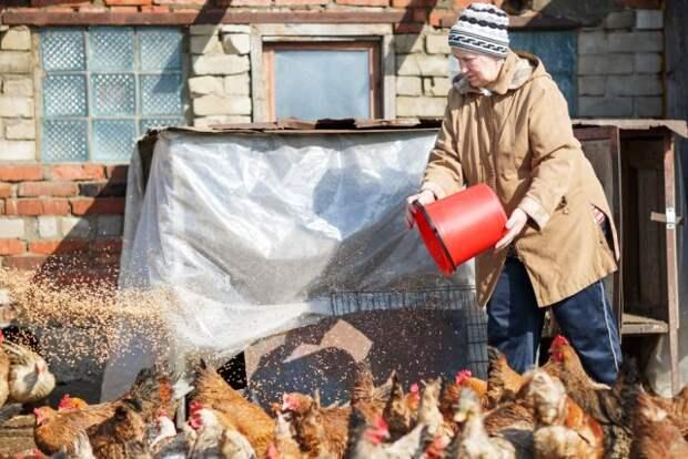 Дачное подворье: как распознать, что курица заболела – первая помощь и профилактика