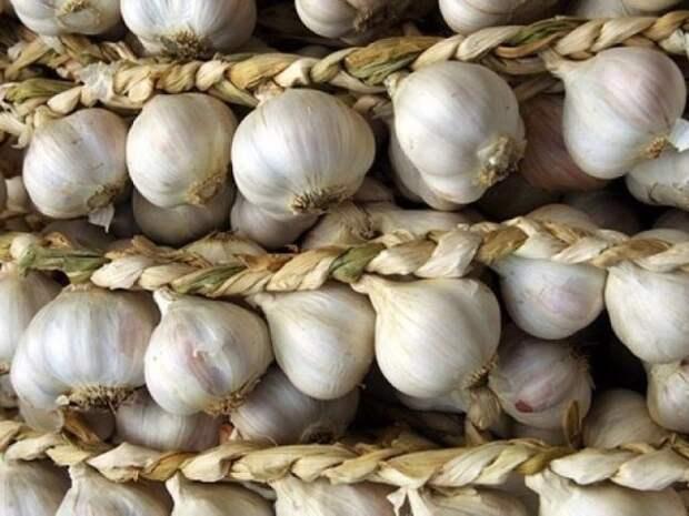 Важные правила для хорошего урожая чеснока