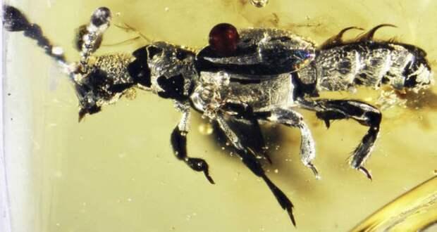 Доисторический янтарь скрывал жука-обманщика