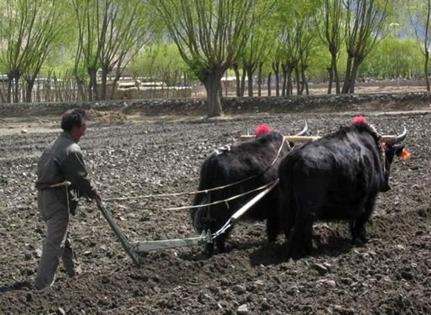 Тибетские-яки-Описание-и-образ-жизни-яка-4