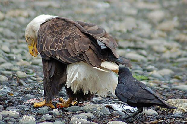 Покушение на хвост вороны, животные, птицы, фото