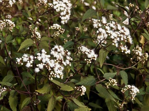 Посконник морщинистый – многолетнее растение семейства Сложноцветных или Астровых. Каждая часть этого растения содержит треметол, ненасыщенный спирт, который вызывает мышечный тремор и может даже Вас убить.