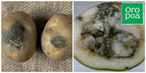 Чем болеет картофель
