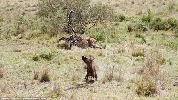 Финальный прыжок битва животных, бородавочник, заповедник, кения, леопард, масаи-мара, самка, схватка